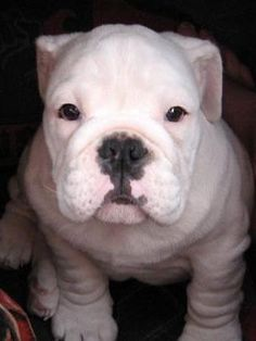 English bulldog puppy BABBYYY @Brittany Brown