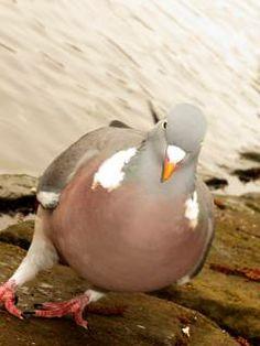 pigeon poolside
