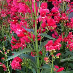 Red riding hood beardtongue. I have this in my westside garden. planted 2011.