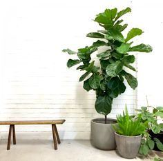 The Fiddle Leaf Fig. For stockists within Australia visit www.theoudoorcooperative.com. Image from Loose Leaf Store.