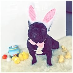 """Like....Happy Easter...and stuff"", this French Bulldog is one bored Easter Bunny."