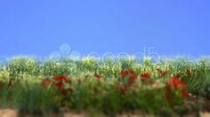 Poppy Field - Stock Footage   by ionescu  #free #freebies #stockfootage #stockfootagefree #pond5 #poppy