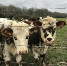 """dreamgirl on Twitter: """"exploring the outdoors… """" Cute Baby Cow, Baby Cows, Cute Cows, Baby Farm Animals, Fluffy Cows, Fluffy Animals, Cow Pictures, Pets 3, Tier Fotos"""