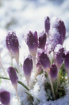 Purple Garden      Keywords:     Purple,   Crocus,     Icy,   Flower Petal,     Winter Wonderland,   Frosty