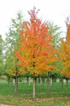 Acer saccharinum #tree #autumn #colours www.vdberk.co.uk