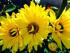 Lieschens-Bilder: Blumen Chrysantheme