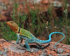 """""""Tail Snapper"""" An aggressive behavior among Collared lizards. Taken at the Wichita Mountains Wildlife Refuge Randy's Wildlife and Nature Photography"""