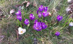 Spring, crocuses,