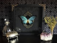 Victorian Giant Blue Swallowtail Butterfly Shadow Box, Real Butterfly, Taxidermy, Framed Butterfly, Victorian, Memento Mori, Gothic Decor, by beyondthedarkveil on Etsy https://www.etsy.com/ca/listing/553576341/victorian-giant-blue-swallowtail