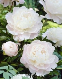 Monrovia's Moonstone Peony details and information. Learn more about Monrovia plants and best practices for best possible plant performance.