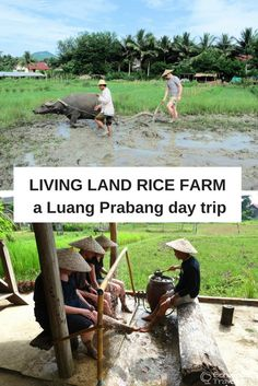 A unique day trip from Luang Prabang to Living Land Rice Farm in Laos - learn about being rice farmers for the day, from planting and harvesting to winnowing and even having a go at ploughing with water buffalo.