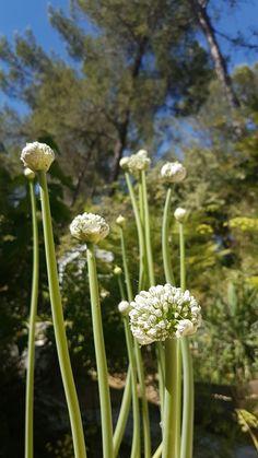 Oignons doux des Cévennes en fleurs dans le jardin de Dihé à Montferrier-sur-Lez, Hérault.  Nous les avons laissé monter en fleurs pour leur beauté...et leurs graines! ❤