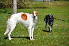 Barzoï male & female Scottish Deerhound