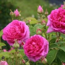 Gardening in Kansas and rose gardening with Canadian Roses, Griffith Buck Roses, and Rugosas. A little garden philosophy and garden humor thrown in.