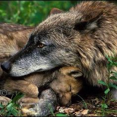 Gray wolf (Canis lupus)--mother with pup. Animals And Pets, Baby Animals, Cute Animals, Strange Animals, Wolf Spirit, Spirit Animal, Beautiful Wolves, Animals Beautiful, Beautiful Creatures