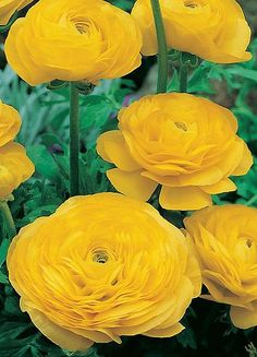 ~~Yellow Ranunculus~~love and light to everyone ...May your life be filled with joy....