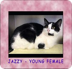 Red Bluff, CA - Domestic Shorthair. Meet Jazzy a Cat for Adoption.