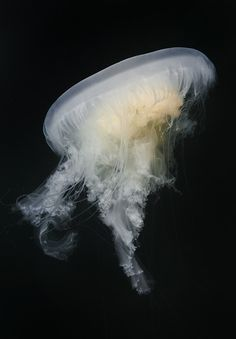 Fried Egg Jellyfish - David Hall's Encounters in the Sea Gallery