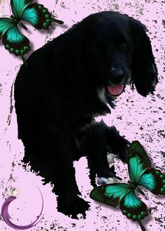 Newbie is a handsome black Cocker Spaniel mix that is good with other dogs.  He is about 2-3 years old and is quite the cutie!!ADOPTION INCLUDES:Adoption includes immunizations: distemper-hepatitis-paraifluenza-parvo (DHPP), bordatello and rabies...