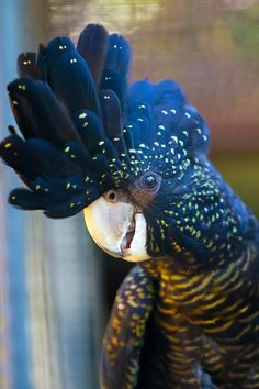 """"" Red-Tailed Black Cockatoo by cobaltsennheiser "" "" Cute Birds, Pretty Birds, Beautiful Birds, Animals Beautiful, Cute Animals, Tropical Birds, Exotic Birds, Colorful Birds, Exotic Pets"
