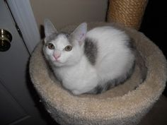Minnie is an adoptable Domestic Short Hair - Buff And White Cat in New York, NY. My name is Minnie and i am an adorable TWELVE WEEKS old female kitten white coat and spots of brown tabby over it that ...