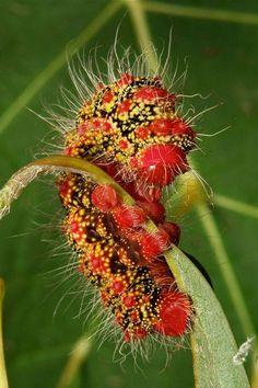 Cricula Silkmoth Caterpillar (Cricula trifenestrata, Saturniidae) Pu'er, Yunnan, China