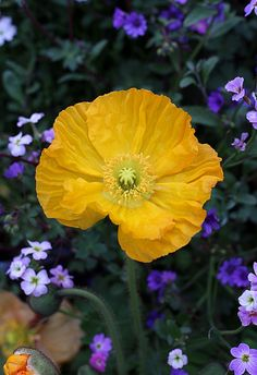 Papaver nudicaule 'Wonderland Yellow' #poppies
