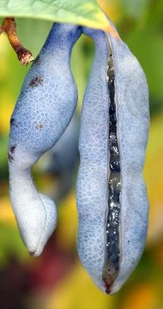 Common names: 'Dead Man's Fingers' . (Decaisnea Fargesii). Inside pod is edible fruit. Hardy to zone 5.