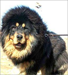 tibetan mastiff   tibetan mastiff