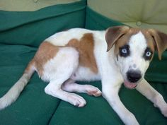 beagle husky mix - Google Search Beagle Husky Mix, I Love Dogs, Puppies, Noodle, Dog Breeds, Gap, Animals, Character, Google Search