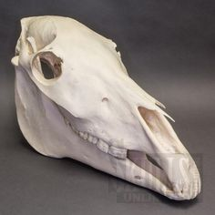 horse skull anatomy - Google Search