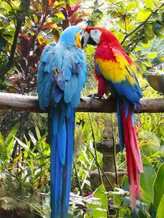 Scheming parrots :)  Blue and Gold Macaw and Scarlet Macaw