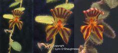 Orchid: Brachycladium compositum