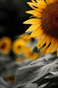 What fabulous creative tension in this composition! Fabulous lighting---Sunflower