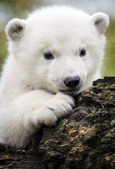 Baby animals, animals and pets, scary animals, cute animals, polar bear Tiny Baby Animals, Baby Animal Videos, Baby Animals Pictures, Bear Pictures, Cute Animal Pictures, Animals And Pets, Scary Animals, Wild Animals, Baby Videos