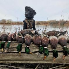 Hunting Life Daily 📸📸 duck 🦆 hunting Your source for hunting… Duck Hunting Dogs, Dove Hunting, Hunting Humor, Hunting Gear, Hunting Season, Hunting Photography, Photography Ideas, Hunter Dog, Hunting Videos