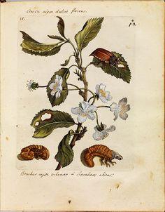 Erucarum ortus - Maria Sibylla Merian c by peacay, via Flickr
