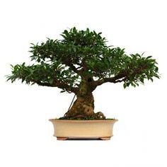 1000 images about ficus bonsai on pinterest ficus bonsai and bonsai trees. Black Bedroom Furniture Sets. Home Design Ideas