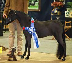 Beautiful Mini horse -- AMHA/AMHR Black WINNING Junior Show Gelding