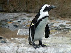 Una 'trampa ecológica' podría acabar con el pingüino africano - http://www.meteorologiaenred.com/una-trampa-ecologica-podria-acabar-con-el-pinguino-africano.html