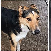 Plano Texas, Foster To Adopt, Animal Welfare, Collie, Pet Adoption, Dog Cat, Cute Animals, Meet, Cats