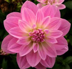 pretty pink dahlia Can anyone identify this type of dahlia? Flowers Nature, Exotic Flowers, Amazing Flowers, Pretty In Pink, Pink Flowers, Beautiful Flowers, Dahlia Flower, My Flower, Flower Pictures