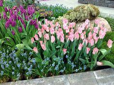 tulppaanit puutarhassa - Google Search Perennials, Bloom, Google Search, Garden, Plants, Garten, Lawn And Garden, Flora, Gardening