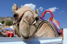The 56th annual International Camel Races are taking place in downtown Virgina City, September 11 - 13. This annual event features camel, ostrich and zebra racing and promises a weekend full of fun and laughs.