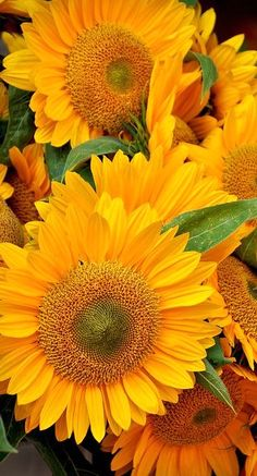 ♥︎ A Cluster of Beautiful Sunflowers