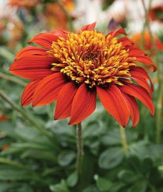 Gazania, Sunbather's Sunset A breakthrough new generation of gazania keeps open at night.