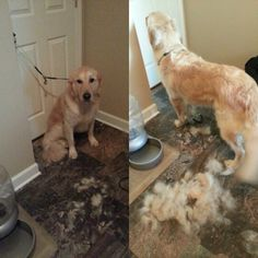 So much shedding and burrs golden retriever