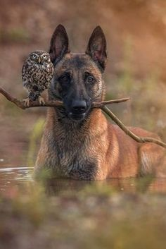 Ingo the shepherd dog's special buddy is Poldi, a little owl. They go everywhere together and sleep together. by Tanja Brandt