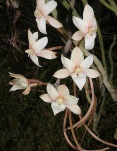 Aerangis thomsonii
