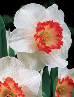 Sizzling Red Centers Blaze in the Cool Yellow-and-White Daffodil Garden! Ring of Fire